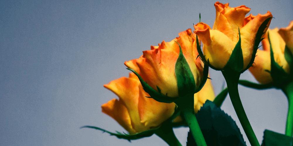 Was bedeuten Gelbe Rosen? Finde es auf unserem Blog heraus!