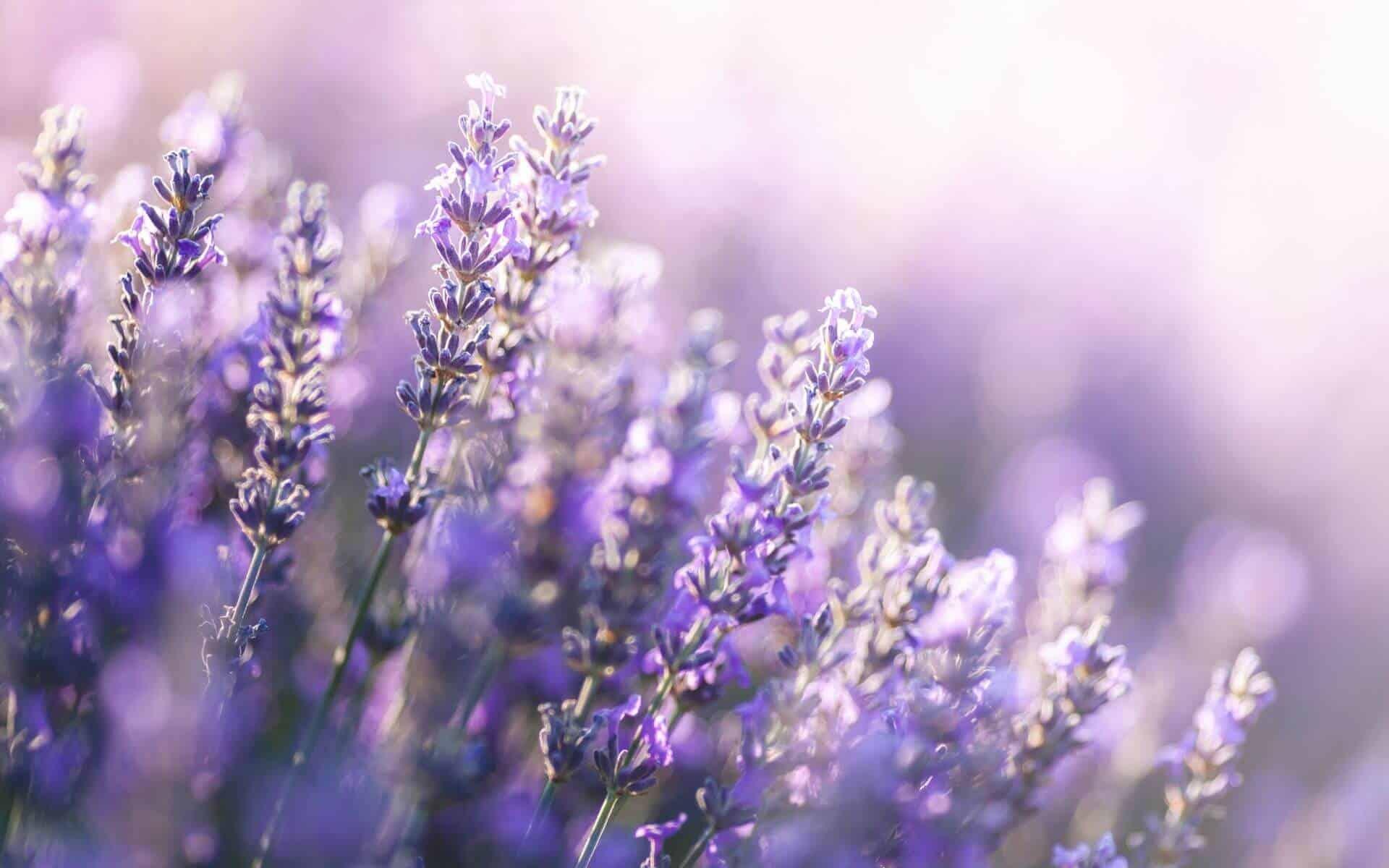 blogimage lavender